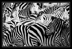 Listen for the zebras
